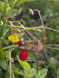 Wild strawberry macro close up Royalty Free Stock Photos