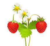 Wild strawberry macro Stock Photo