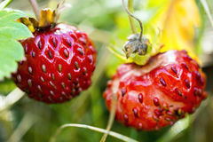 Wild strawberry macro Royalty Free Stock Images