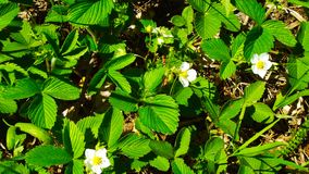 Wild strawberry. In the meadow blooms wild strawberry stock photo