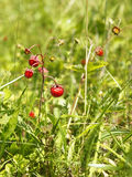 Wild strawberry in the meadow Royalty Free Stock Photography
