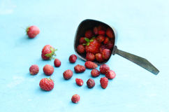Wild strawberry in metal scoop on blue background Royalty Free Stock Photo