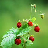 Wild strawberry in nature. Close up Stock Photos