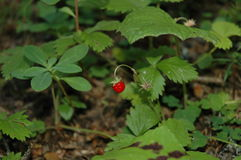 Wild strawberry in nature. Alone wild strawberry in nature stock images