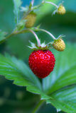 Wild strawberry plant Stock Photos
