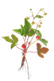 Wild Strawberry Plant. With fruit and roots, isolated over white background royalty free stock photography