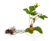 Wild Strawberry Plant. With root over white background stock photo
