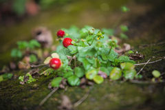 Wild strawberry plant with green leafs and red Royalty Free Stock Photography