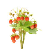 Wild strawberry plant isolated Stock Photography