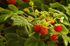 Wild strawberry plant with red fruit - Fragaria vesca. Wild strawberry plant with green leafs and ripe red fruit - Fragaria vesca stock images