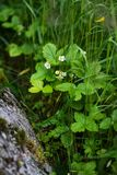 Wild strawberry plants. Blooming in the summertime Royalty Free Stock Photo