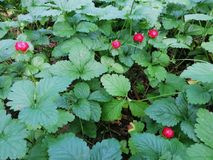Wild strawberries plant with ripe fruits. Wild strawberry plants with green leaves and some ripe red strawberries royalty free stock images