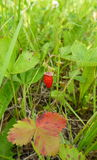 Wild strawberry Stock Photos