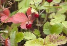 Wild strawberry. Royalty Free Stock Photos
