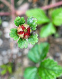Wild Strawberry Ripening Royalty Free Stock Photography