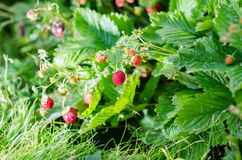 Growing strawberries Stock Images
