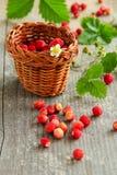 Wild strawberry Stock Photography