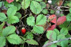 Wild strawberry. A small juicy wild strawberry in the autumn foliage Royalty Free Stock Photo