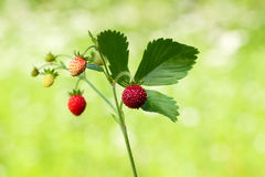 Wild strawberry sprig Royalty Free Stock Photos