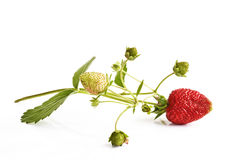 Wild strawberry with stem and leaves Stock Photography