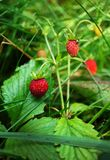 Wild strawberry in a summer forest Royalty Free Stock Images