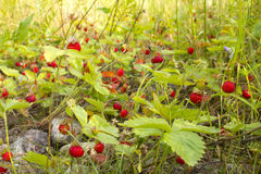 Wild strawberry thickets Royalty Free Stock Images
