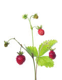 Wild strawberry with three ripe berries on white Stock Photos