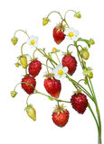 Wild strawberry twig Stock Photos