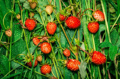 Wild strawberry with water drops Royalty Free Stock Images