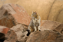 Wild stray cat among rocks. Adult wild stray cat among rock background Royalty Free Stock Photography