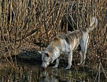 The wild stray dog. The wild stray dog drinking from a spring pool Royalty Free Stock Photography
