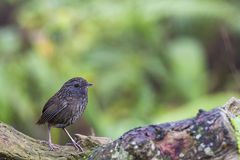 Wild Streaked Wren-Babbler Stock Photography