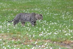 Wild street cat in the park on green grass. Urban cat among little flowers is grown for food royalty free stock images