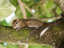 Wild striped squirrel. Sri Lanka. Wild striped squirrel sits on a tree among the leaves Stock Photography