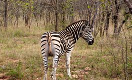 Wild striped zebra  in national Kruger Park in South Africa Stock Photos