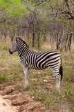 Wild striped zebra  in national Kruger Park in South Africa Stock Images