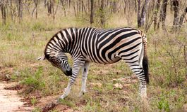 Wild striped zebra  in national Kruger Park in South Africa Royalty Free Stock Photography