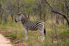 Wild striped zebra  in national Kruger Park in South Africa Royalty Free Stock Image