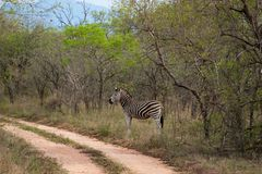 Wild striped zebra  in national Kruger Park in South Africa Stock Photography