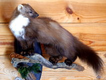 Wild stuffed marten Royalty Free Stock Photos