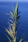 Wild sugar cane over the sea Stock Image