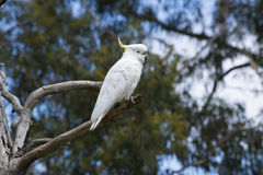 Wild Sulphur-Crested Cockatoo Cacatua Galerita in a Tree Royalty Free Stock Images
