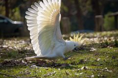Wild sulphur-crested cockatoo striding on the ground royalty free stock images