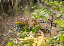 Wild summer berries. Are forage for a variety of wildlife.  Framed against the blurred background of native grasses and vegetation they seem ready to pick in Stock Photography