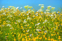Wild summer flowers Royalty Free Stock Photo