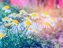 Wild summer  garden with daisies flowers  in sun shine Stock Images