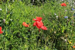 Wild summer garden with poppie. S that grow as they like in the field Royalty Free Stock Photos