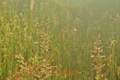 Wild summer meadow Royalty Free Stock Photo