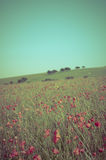 Wild Summer Poppy Field - Cross Processed Royalty Free Stock Photo
