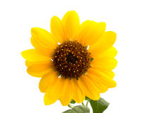Wild sunflower. On white background Stock Image